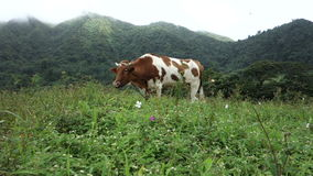 A cow tethered in a tropical field stock video footage
