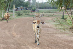 Cow in thailand Royalty Free Stock Images