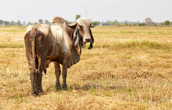 Cow Thailand. A cow is eating grass, farmland stock image