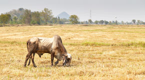 The cow Thailand. A cow is eating grass, farmland stock photo