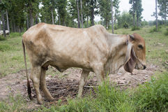 Cow in thailand Stock Photography