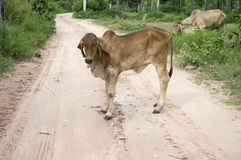 Cow in thailand Stock Images