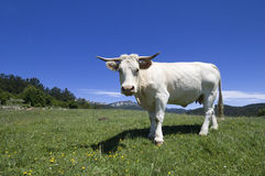 Cow threatening Stock Photography