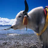 Cow in Tibet. A smiling ow towed by Zang in Tibet royalty free stock photography