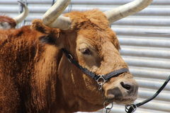 Cow tied to trailer Royalty Free Stock Photography
