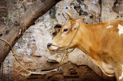 A cow tied to a tree in India - Auroville Royalty Free Stock Images