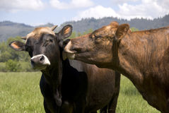 Cow to other:. A cow shows affection to his mate Stock Photo