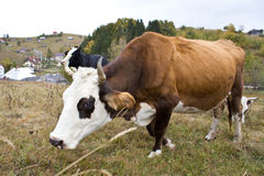 Cow to pasture Stock Image