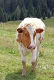 Cow to pasture grazing alpine meadow grass Stock Photography
