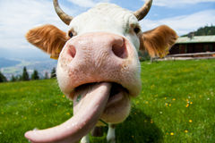 Cow with tongue Stock Photo
