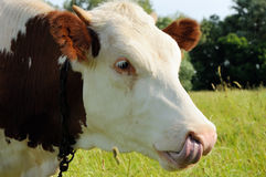 Cow with the tongue in the nose Royalty Free Stock Photos