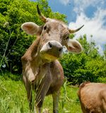 Cow. With the tongue touches the nose royalty free stock photo
