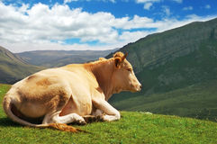 Cow on top of the hill Royalty Free Stock Images