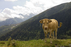 Cow on top of a mountain. Stock Images