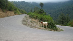 Cow. Tortuous path of life, enjoy Stock Image