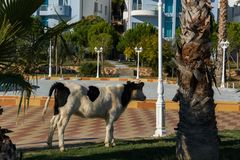 Cow in the touristic resort Stock Image