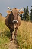 Cow on a track. Royalty Free Stock Image