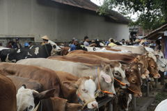 Cow in traditional market. Cow sales in a traditional market on AMpel, Boyolali, Central of Java, Indonesia Stock Photography
