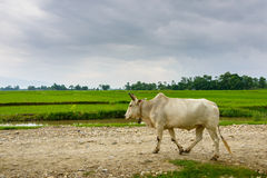 Cow on a trail in rural Nepal Stock Photos