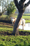 Cow and tree Stock Photography
