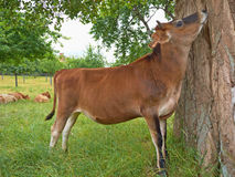 Cow, tree kissing Royalty Free Stock Image