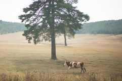 Cow and tree Royalty Free Stock Photography