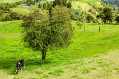 Cow and Tree Royalty Free Stock Photos