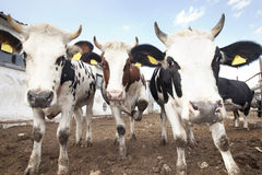 Cow Trio. Cows looking at camera outdoors Royalty Free Stock Photos