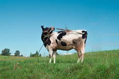 cow is trying to drive away flies stock photo