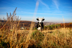 Cow turning head to camera with mountains and snow on backgrounds Stock Image