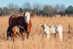 Cow with two calves. Brown and white Simmental brood cow with a nursing calf with a white calf standing next to them in a dormant, brown pasture royalty free stock photos