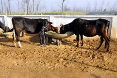 Cow. Two cows are a color black and it is eating a fodder Royalty Free Stock Photos