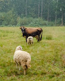 Cow and two sheep grazing in the field Stock Photos