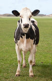 Cow. In a typical Dutch landscape Royalty Free Stock Image