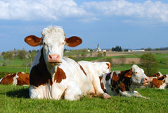 Cow in the typical landscape. Cows in the field in front of a typical french landscape Royalty Free Stock Photo