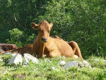 Cow typical of the region Savoie in the French Alps. A cow from Savoie enjoying the open air in the French Alps stock photo