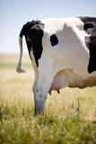Cow Udder royalty free stock images