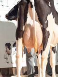 Cow udders. outdoor Royalty Free Stock Images