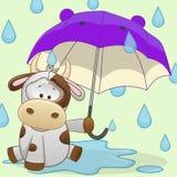 Cow with umbrella Stock Photos