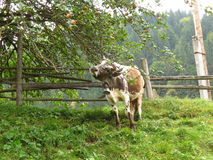 Cow under an apple-tree. Cow under a young apple-tree . She likes to feast on apples.In mountains domestic cows like to go for a walk in gardens and there are Stock Photo