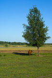 Cow under birch tree. Cow finding shade under a birch tree Royalty Free Stock Images