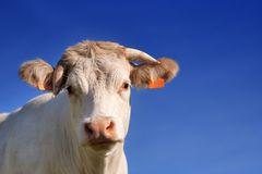 Cow under blue sky Royalty Free Stock Photo