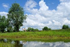 A cow under blue sky and white clouds Stock Photos