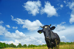 Cow under clouds. A black cow on a solar meadow Royalty Free Stock Photography