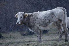 Cow under snow. Cow grazing at a pasture during a snow storm Stock Image