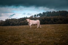 Cow under stormy clouds on a field Royalty Free Stock Photo