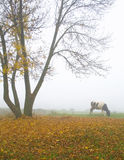 Cow under the tree. Cow under the autumn tree during misty morning Stock Images