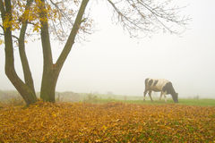 Cow under the tree. Cow under the autumn tree during misty morning Royalty Free Stock Photography