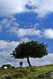 Cow under tree in countryside. Scenic view of cow in green field under small oak tree in countryside with blue sky and cloudscape background Stock Images