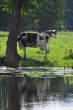 Cow under the tree Royalty Free Stock Image
